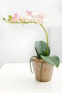 Come coltivare le orchidee in appartamento ed averle fiorite ogni anno <3