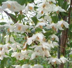 japanese snowbell - Google Search