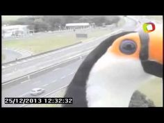 A curious toucan was recently caught photo bombing a traffic camera in São Paulo, Brazil.