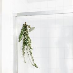 Tip: hang eucalyptus leaves in your shower - the steam releases essential oils that act as a natural decongestant