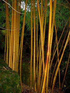 27 Best Bamboo Species Images Bamboo Species Bamboo Species