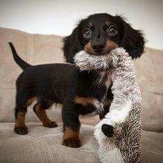 .dachshund #dachshund