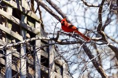 Cardinal at the Fort Worth Nature Preserve.