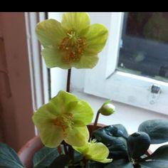 Christrose Christen, Plants, Flowers, Flora, Plant, Planting