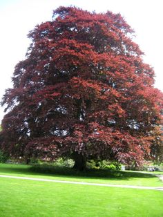 Fagus sylvatica, the European Beech or Common Beech, is a deciduous tree belonging to the beech family Fagaceae. Copper Beech or Purple Beech (Fagus sylvatica Purpurea Group) - leaves purple, in many selections turning deep spinach green by mid-summer.