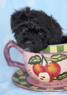 Maltipoo puppy by TeaCups, Puppies & Boutique