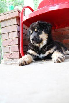 {german shepard pup}