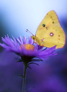 studioview: Dinner Time by j man. butterfly on purple aster flower Papillon Butterfly, Butterfly Kisses, Butterfly Flowers, Butterflies Flying, Beautiful Butterflies, Especie Animal, Aster Flower, Butterfly Pictures, Chenille