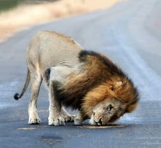 Male lion sniffing dung in the road in Kruger National Park Kruger National Park, National Parks, Cool Pictures, Cool Photos, Cat Activity, Male Lion, Most Beautiful Animals, Rare Animals, Wild Dogs