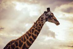 Unlikely Companions - African Giraffe & an African Ox Pecker African Giraffe, Ox, Photography, Animals, Photograph, Animales, Animaux, Fotografie, Photoshoot
