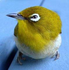 These are tiny little birds, we get lots in our garden.they love the bottlebrush trees All Birds, Little Birds, Love Birds, Pretty Birds, Beautiful Birds, Matou, White Eyes, Australian Animals, Exotic Birds