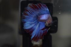 Charlie the Half-Moon Beta Fish