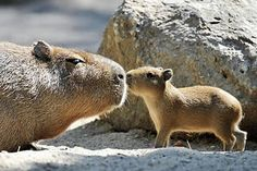 capybaras: hamsters you can put on a leash and squeeze.