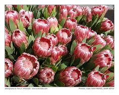My deceased Uncle Eugene's favourite flower - Proteas, South Africa