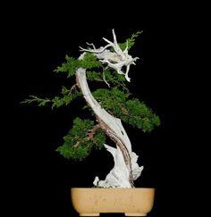Tanuki mit Juniperus sabina