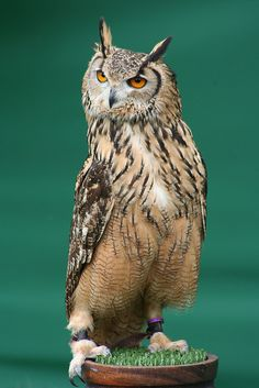 #Bengalese #Eagle #Owl