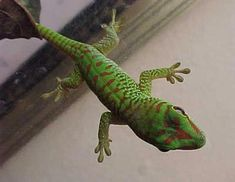 """Gecko The only lizard that """"speaks"""" it makes a barking noise. Lizard Types, Reptiles And Amphibians, Wonders Of The World, Animal Pictures, Creatures, Cool Stuff, Pets, Lizards, Snakes"""