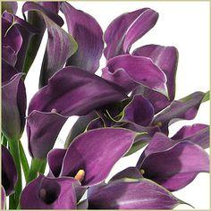 purple mini callas