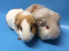 Watson for Adoption: Male Guinea Pig   Animal Humane Society