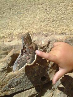 Fauna pallaresa, Foto ZER Pallars Jussà papallona bruixa (Saturnia pyri)