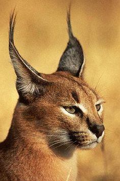 "The caracal, Caracal caracal, is a fiercely territorial medium-sized cat ranging over Western Asia, South Asia and Africa. The word caracal comes from the Turkish word ""karakulak"", meaning ""black ear""."