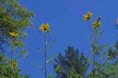 Helianthus californicus—California sunflower.  Can reach 350 cm tall, you do the math.