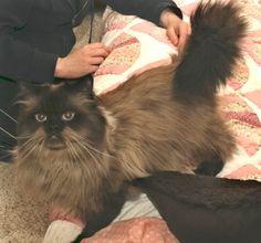 Himalayan, Himalayan cat and Seals on Pinterest