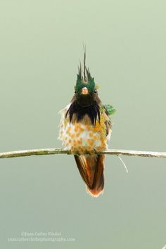 fairy-wren: (via Black-crested Coquette (Costa Rica) by Juan Carlos Vindas / Kinds Of Birds, All Birds, World Birds, Funny Birds, Exotic Birds, Colorful Birds, My Animal, Mundo Animal, Bird Watching