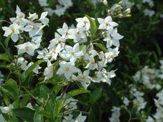 Solanum jazminoides