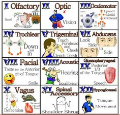 Easily remember all the functions of the cranial nerves. From frowning to smiling, the cranial nerves help you move the muscles of your face, to even special. Nursing School Tips, Nursing Tips, Nursing Notes, Nursing Schools, Ob Nursing, Nursing Degree, 12 Cranial Nerves Mnemonic, Cranial Nerve 7, Cranial Nerves Function