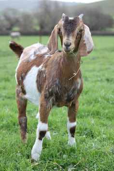 Nubian goat, Frig | Flickr - Photo Sharing!