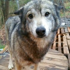 Even if you don't like wolves, how could you not love this face?