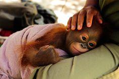 An orangutan monkey in Kalimantan, Borneo. Baby Orangutan, Primates, Mammals, Borneo, Cute Baby Animals, Animals And Pets, Save The Orangutans, Ape Monkey, Puppies