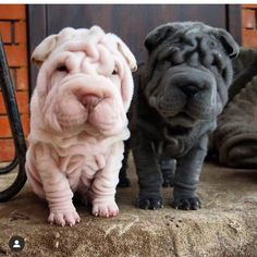 List of The Oldest Dog Breed in The World (COMPLETE) best pictures and photos ideas about adorable chinese shar pei puppies - oldest dog breeds Cute Baby Animals, Animals And Pets, Funny Animals, Cute Dogs And Puppies, Baby Puppies, Doggies, Wrinkly Dog, Sharpei Dog, Shar Pei Puppies