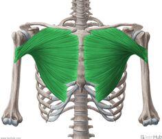 pectoralis major | musculus pectoralis major pectoralis major muscle