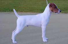Parsons Jack Russell Terrier - BEAUTIFUL!