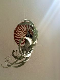 Air Plant Xerographica Hanging Large Nautilus by TwistedAcres