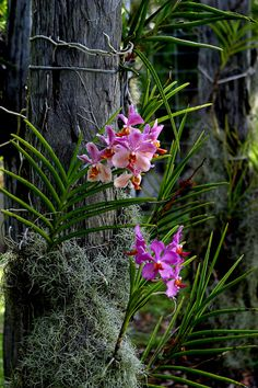 Vanda on old bridge timbers. The Spanish Moss is actually the smallest bromeliad. It gives orchid roots sun protection and helps retain moisture.