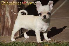 Chihuahuas Love - Fotos de Chihuahuas Con Logo. Imagenes de Chihuahuas.