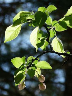 """Klems Crabapple, 20 x 25.  Has sparse green 1"""" fruit but flowers a double pink, fragrant flower 2"""" diameter in spring.  Strong grower."""