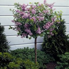 Beautiful Dwarf Lilac Trees For Your Garden - - Gardeners with limited space find dwarf lilac trees a good way to enjoy the beauty of lilacs. These trees are good for those who want to conserve their garden's space. Trees For Front Yard, Garden Front Of House, Patio Trees, Front Fence, Dwarf Korean Lilac Tree, Dwarf Lilac Tree, Dwarf Trees For Landscaping, Garden Landscaping, Hydrangea Landscaping