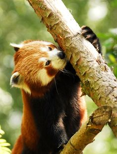 http://animals-everywhere.com/post/112008475309/creatures-alive-babu-red-panda-by