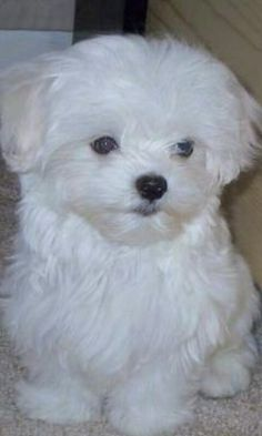 My munchkin would love one of this (MALTESE)