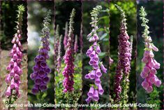 """Collage of """"Digitalis purpurea"""" created with MB-Collage Create Collage, Basic Colors, Shapes"""