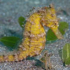 "Yellow Fellow, part II - A common wild seahorse at ""City Extra"" Manado Bay, Sulawesi"