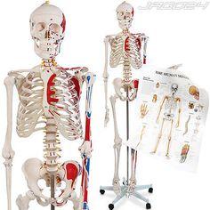 Anatomie Modell menschliches Skelett stativ Lehrmodell Muskeln Poster Abdeckungsparen25.com , sparen25.de , sparen25.info