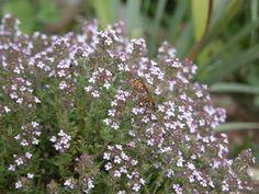 Le thym est une plante qui, depuis l'Antiquité, s'utilise pour éliminer des espaces de vie les mauvaises vibrations. Cette plante est considérée comme purificatrice car elle combat les mauvaises énergies, évite les cauchemars et renforce l'estime de soi.