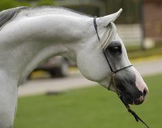 arabian horses | arabian horse graphics and comments