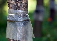 сухой ловчий пояс от вредителей на плодовых деревьях