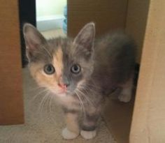 Happy Tails Rescue, Appling, GA     •706-955-0438    Kate is an adoptable Domestic Short Hair Cat in Appling, GA. Kate is a domestic short hair female kitten and was born on March 12, 20120. She already uses the litterbox, and she has had her first set ...